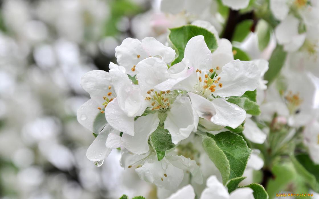 цветы, цветущие деревья ,  кустарники, дерево, макро, яблоня, весна